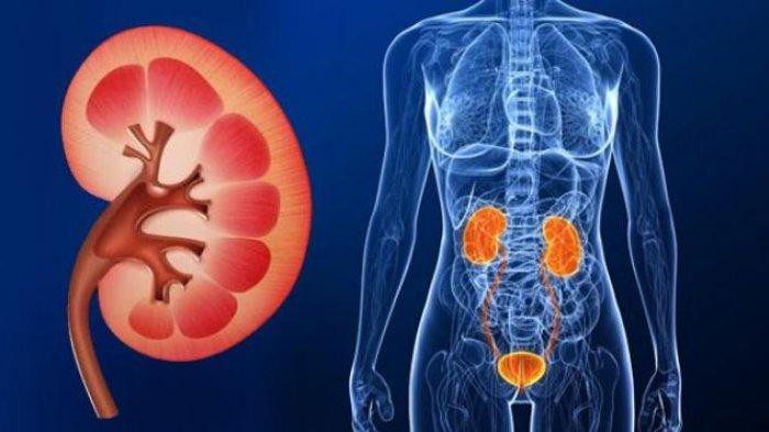 Ginjal – Organ Tubuh Yang Punya Kekuatan Super